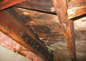 Extensive crawl space rot damage growing in Hatzic