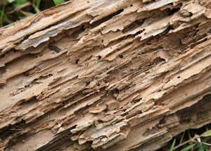 Termite-damaged wood showing rotting galleries outside of a Richmond home